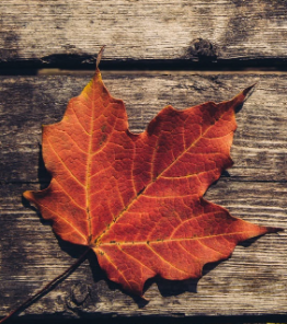 maple leaf